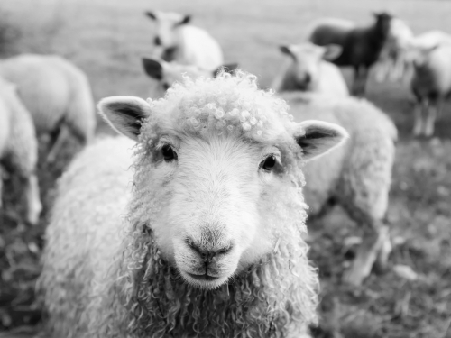 Nutrețuri combinate pentru ovine