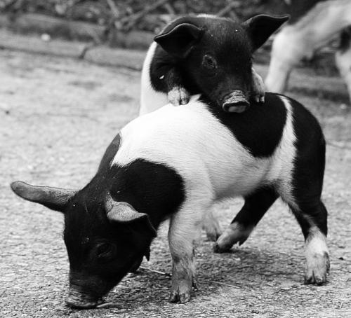 Nutrețuri combinate pentru porci